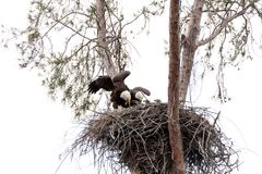 Family of two bald eagle Haliaeetus leucocephalus parents with t. Heir nest of chicks on Marco Island, Florida in the winter Stock Image