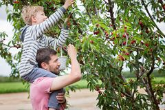 Family picking cherries. Family of two, father and son, picking cherries in the tree orchard, son sitting on his father shoulders Royalty Free Stock Photos