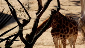 Family of two giraffes eating bush. Family of giraffe are common in Africa but also found in zoos. In the wild; giraffe are mostly the prey of lions stock footage