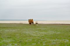 Family of two-humped camels stand on the coast of the lake Manych-Gudilo in the spring steppe. Kalmykia.  stock photography