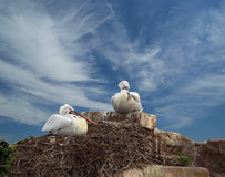 Family of two pelicans nest Stock Photo
