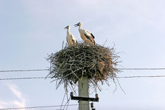 Family of two storks in the nest are built on electric poles.  Royalty Free Stock Images