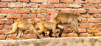 Family of urban monkeys walk along a wall Royalty Free Stock Image
