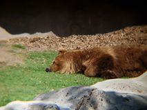 Brown bear resting in a zoo. Family ursidae, carnivore and mammal animal, inhabits forests and his favorite food is honey royalty free stock images