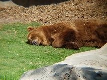 Brown bear resting in a zoo. Family ursidae, carnivore and mammal animal, inhabits forests and his favorite food is honey stock image