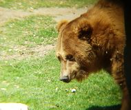 Brown bear in a zoo. Family ursidae, carnivore and mammal animal, inhabits forests and his favorite food is honey royalty free stock photos