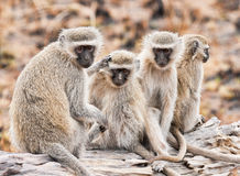 Family of Vervet Monkeys Stock Photos