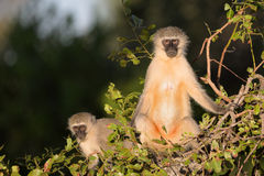 Family of Vervet Monkeys in Kruger National Park Stock Photography