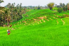 Family walk in green rice terraced fields Royalty Free Stock Photography
