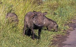 Family of Warthog at Asphalt Road and Grass Background. Family of Warthog at asphalt road and green grass background  at Imfolozi-Hluhluwe Game reserve in Royalty Free Stock Photography