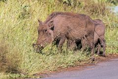 Family of Warthog at Asphalt Road and Grass Background. Family of Warthog at asphalt road and green grass background at Imfolozi-Hluhluwe Game reserve in Royalty Free Stock Image