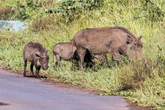 Family of Warthog at Asphalt Road and Grass Background. Family of Warthog at asphalt road and green grass background  at Imfolozi-Hluhluwe Game reserve in Royalty Free Stock Photos
