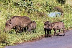 Family of Warthog at Asphalt Road and Grass Background. Family of Warthog at asphalt road and green grass background  at Imfolozi-Hluhluwe Game reserve in Royalty Free Stock Images