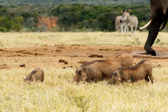 Family of warthog eating grass Royalty Free Stock Images