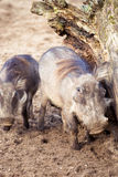Family Warthog Royalty Free Stock Image