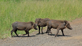 Family of Warthogs Royalty Free Stock Photography