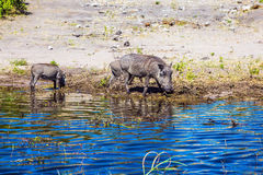 The family of warthogs Royalty Free Stock Photos