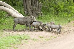 Family of warthogs in Umfolozi Game Reserve, South Africa, established in 1897 Stock Images