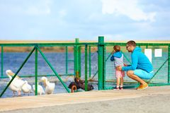 Family watching pelicans and black swans, paddock on lake Stock Image