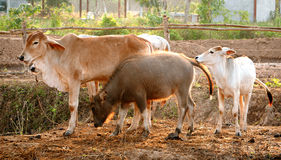 Family of water buffalo and cows Royalty Free Stock Photography