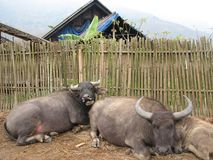 Family of Water Buffaloes in Vietnam Royalty Free Stock Photography