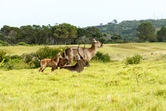 The Family -Waterbuck - Kobus Ellipsiprymnus Stock Photo