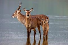 Family of waterbuck, kobus ellipsiprymnus, taking a drink at waterhole. Royalty Free Stock Photo