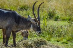 Family of waterbuck or water buck antelopes in a South African nature reserve. Family of waterbuck or water buck antelopes in a South African game reserve royalty free stock image