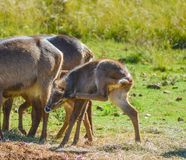 Family of waterbuck or water buck antelopes in a South African nature reserve stock photo