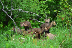 Family of 5 wet young red fox kits Royalty Free Stock Images