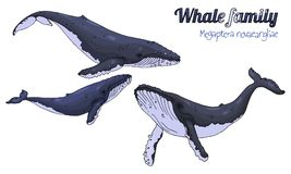 Humpback whale. The family of whales with their calf. Megaptera novaeangliae. Vector illustration Stock Image