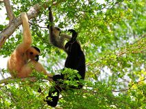 Family of white-cheeked gibbon monkeys in tree Stock Photos