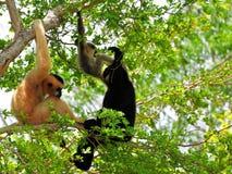 Family of white-cheeked gibbon monkeys in tree. Female (reddish-tan), male (black) and baby (tan-black) monkeys in Zoo Miami, South Florida.  The northern white Stock Photos