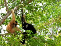 Family of white-cheeked gibbons in tree in zoo. Female (reddish-tan), male (black) and baby (tan-black) monkeys in Zoo Miami, South Florida.  The northern white Stock Photos