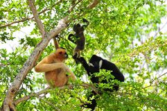 Family of white-cheeked gibbons in zoo. Female (reddish-tan), male (black) and baby (tan-black) monkeys in Zoo Miami, South Florida.  The northern white-cheeked Royalty Free Stock Photography