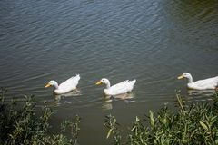 Family of White Ducks swimming in the lake. stock photos
