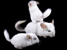 Family  of white ebonite chinchilla on black Royalty Free Stock Images
