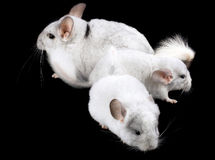Family  of white ebonite chinchilla on black Royalty Free Stock Photography