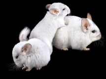 Family  of white ebonite chinchilla on black Royalty Free Stock Photo