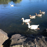 Family of white geese swim in Western Springs park in Auckland N Royalty Free Stock Photography