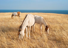 Family of white horses Stock Photo