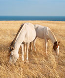 Family of white horses Royalty Free Stock Photos