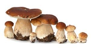 Family of white porcini. Wild Foraged Mushroom selection isolated on  background, with shadow. Boletus Edulis mushrooms Royalty Free Stock Photography