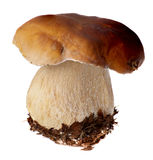 Family of white porcini. Wild Foraged Mushroom selection isolated on background, with shadow. Boletus Edulis mushrooms Royalty Free Stock Photography