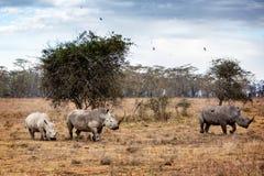 White Rhino Family in Lake Nakuru Africa. Family of white rhinoceros walking through forest of Lake Nakuru, Kenya Africa royalty free stock photo