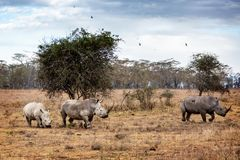 White Rhino Family in Lake Nakuru Africa royalty free stock photo