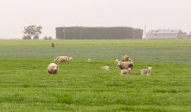 A family of white sheeps stand in the green field landscape, New royalty free stock photos