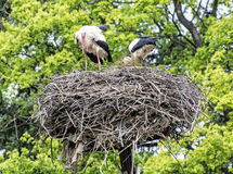 Family of White stork  in the nest, bird watching Stock Images