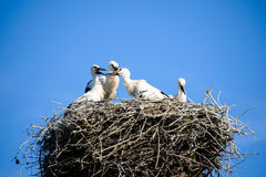 Family of white storks. Royalty Free Stock Image