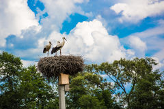 Family of white storks in their nest Royalty Free Stock Photo